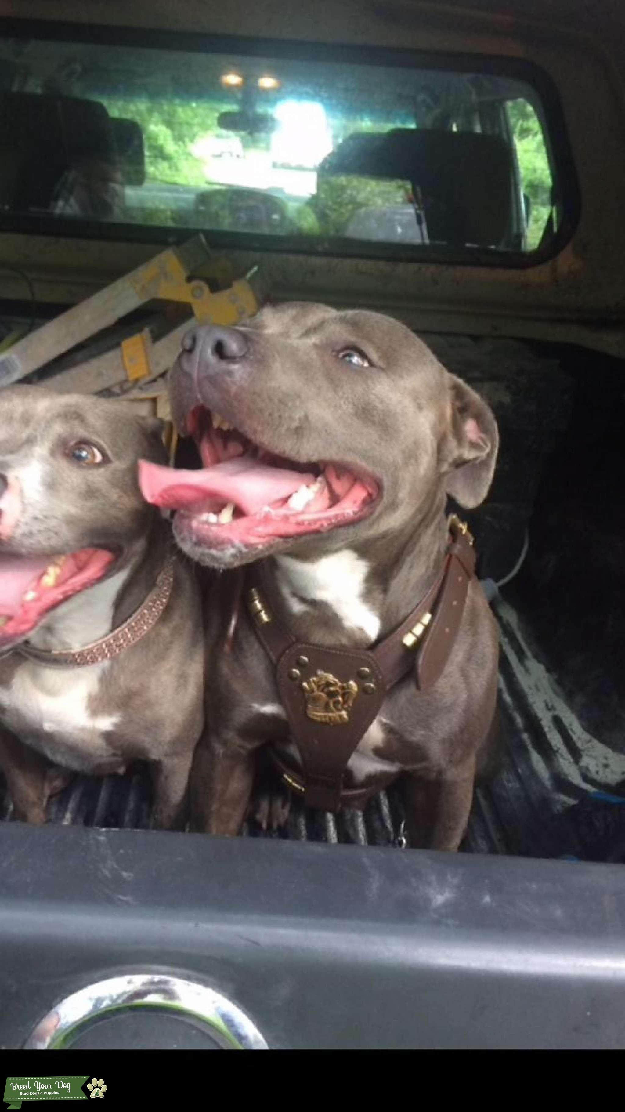 Blue Staffordshire Bull Terrier Listing Image Big