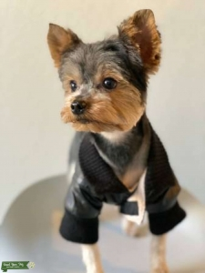 Yorkie STUD Services Featured Image