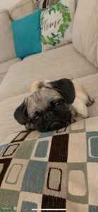 Fawn Pug Stud Listing Image