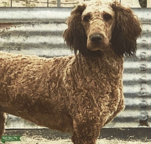 Gorgeous red sable abstract standard poodle Listing Image