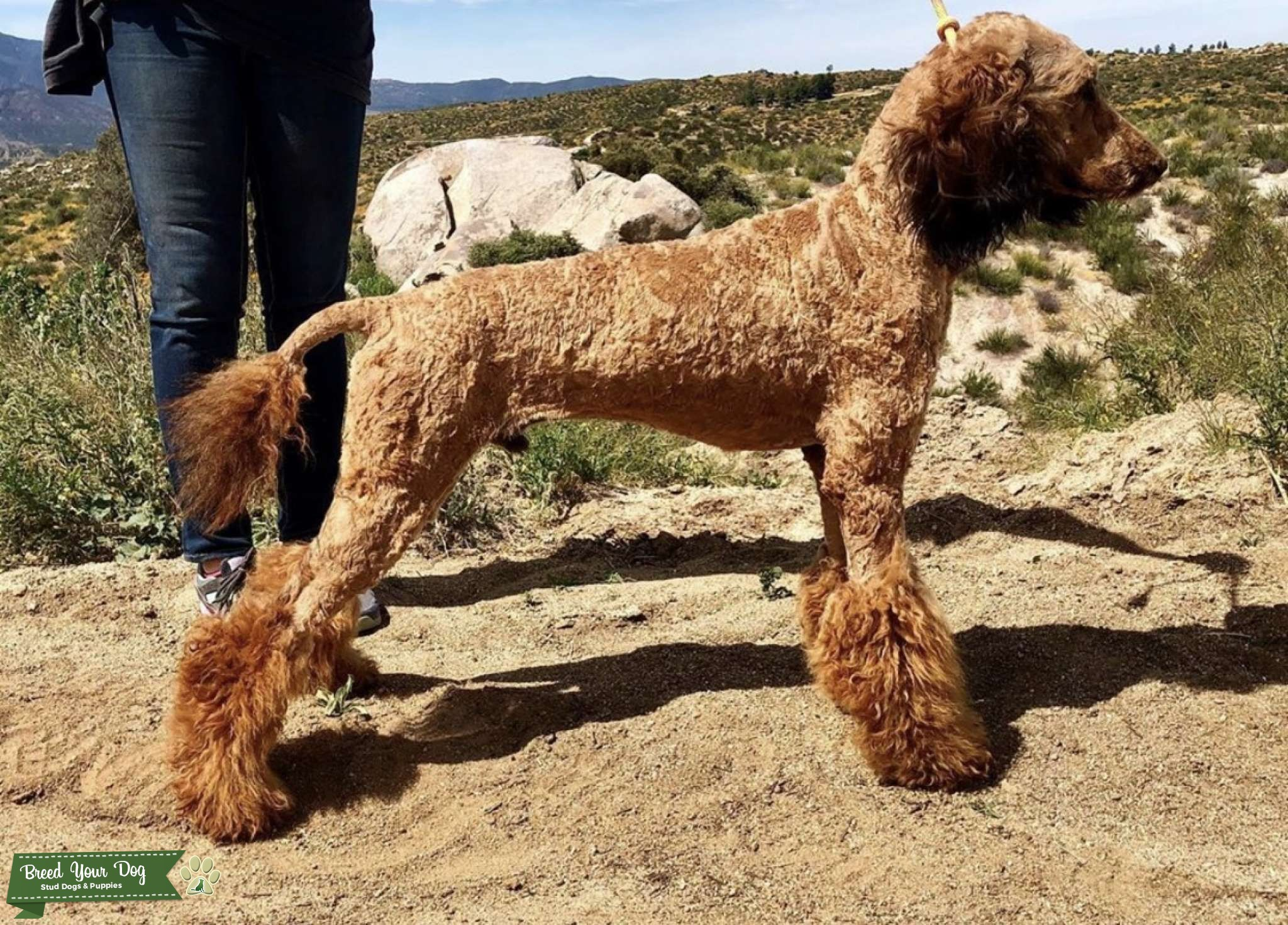 Stud Dog Gorgeous Red Sable Abstract Standard Poodle