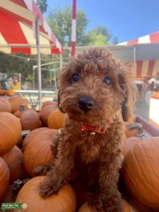 Teacup poodle rare red brown Listing Image