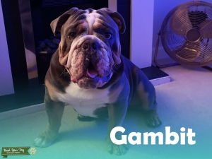 KC Reg Blue-Tri English Bulldog for Stud Listing Image Thumbnail
