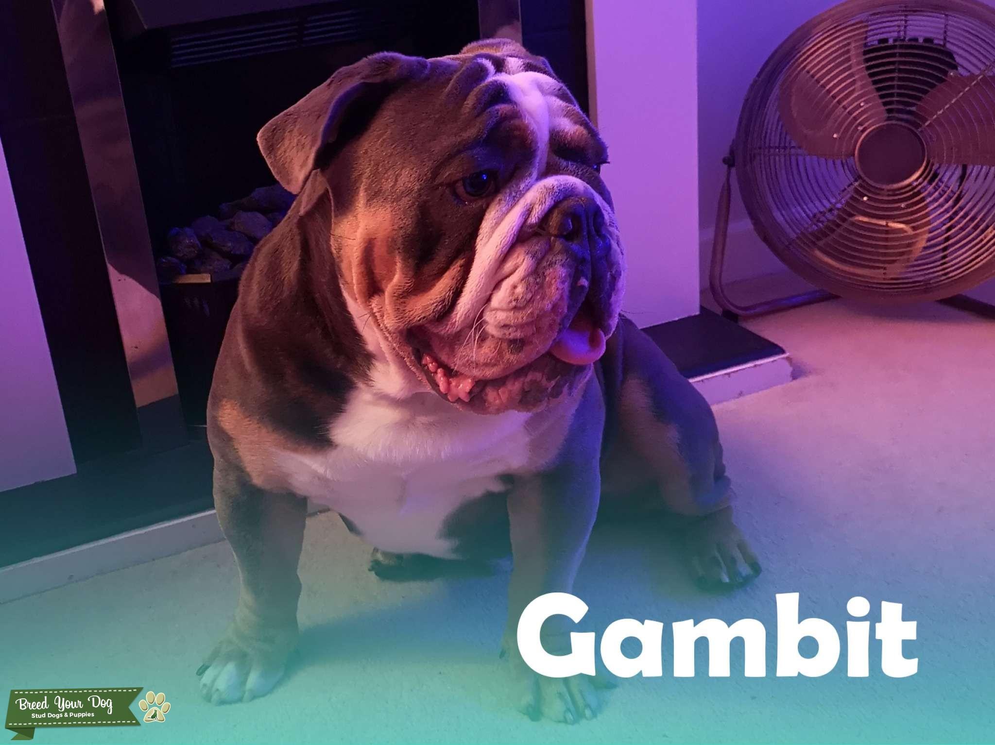 KC Reg Blue-Tri English Bulldog for Stud Listing Image Big