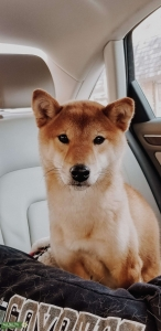 Shiba Inu Listing Image
