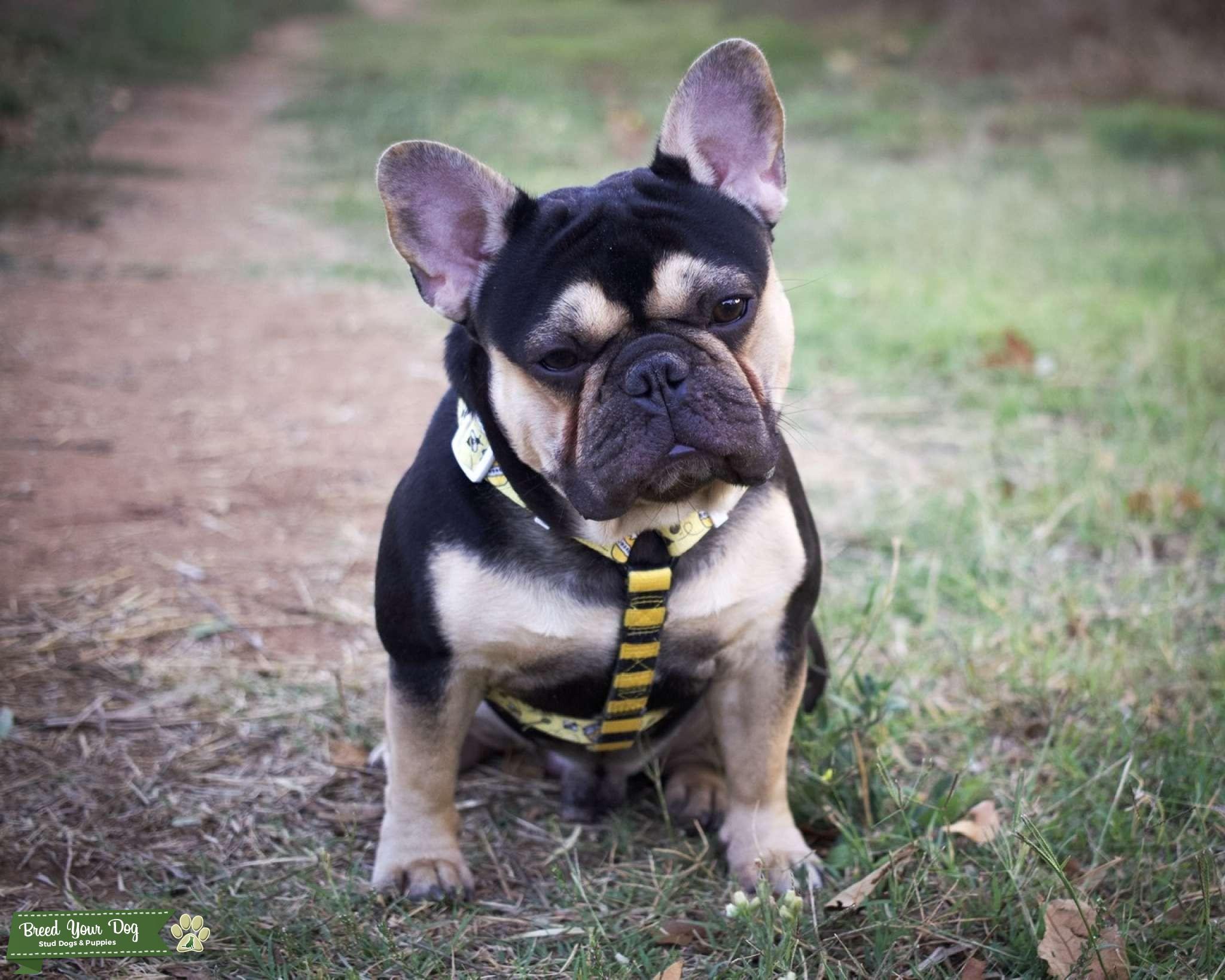 Black and Tan French bulldog stud $800 Listing Image Big