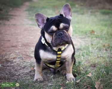 Black and Tan French bulldog stud $800 Listing Image