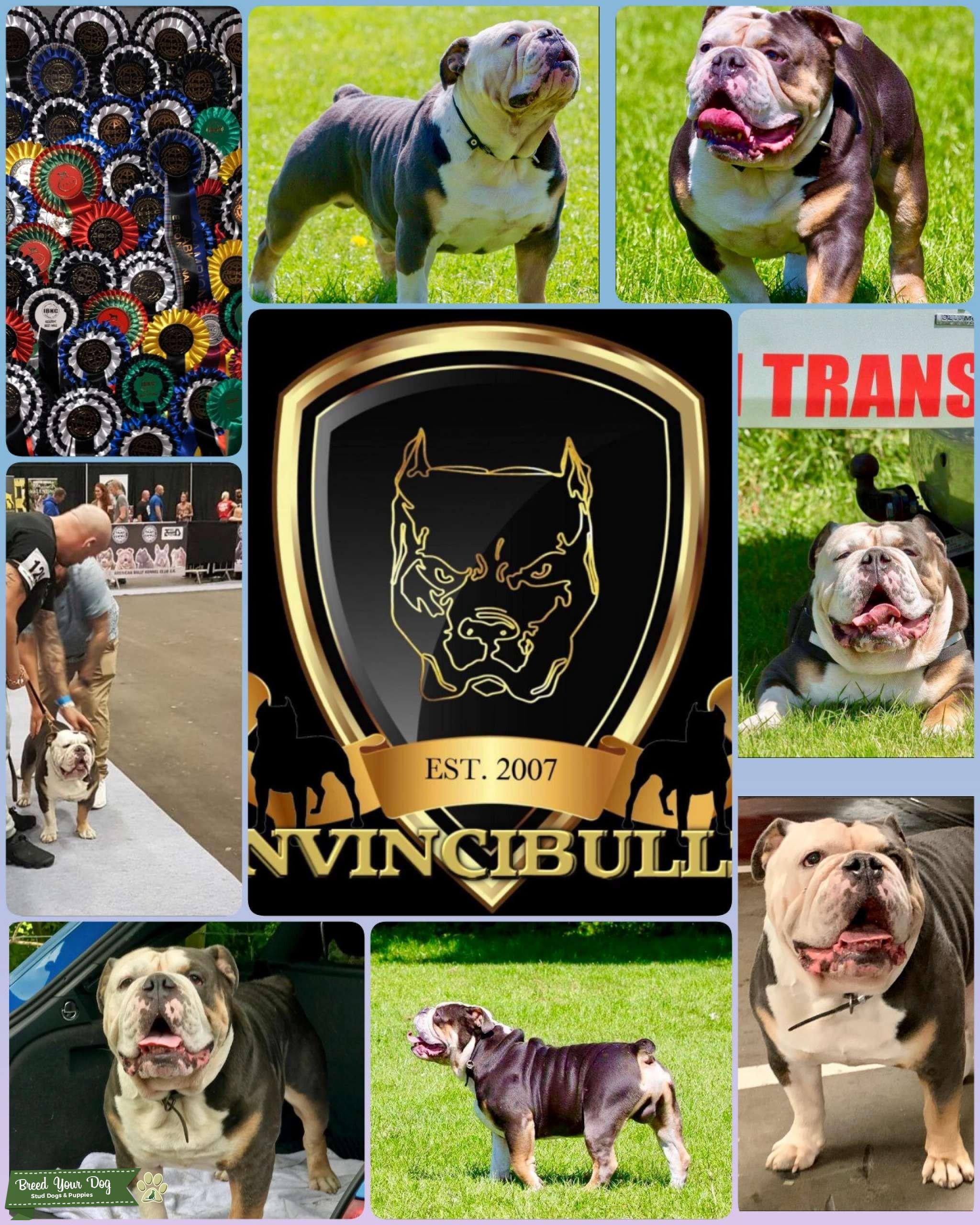 Old English bulldog  Listing Image Big