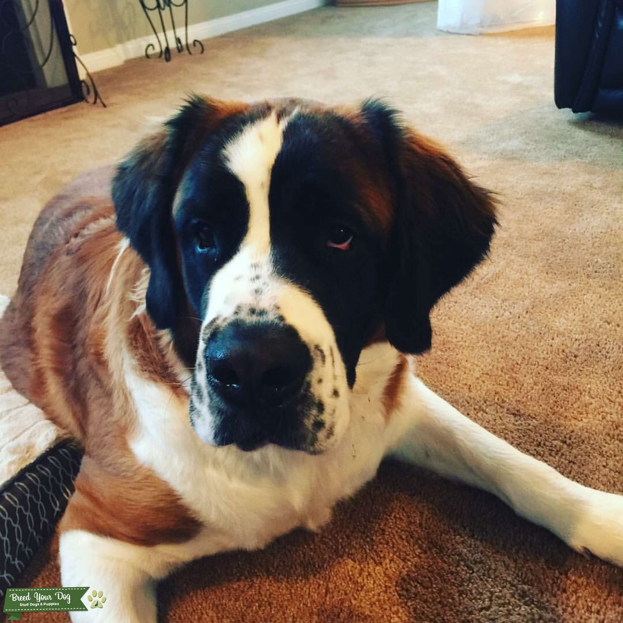 Looking for stud for our female St. Bernard  Listing Image Big