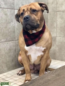 Fawn American Straffordshire/ Boxer Stud Listing Image