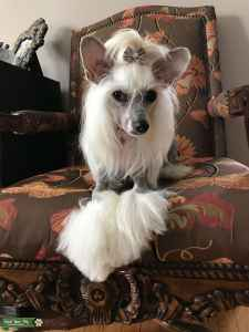 Chinese Crested Listing Image