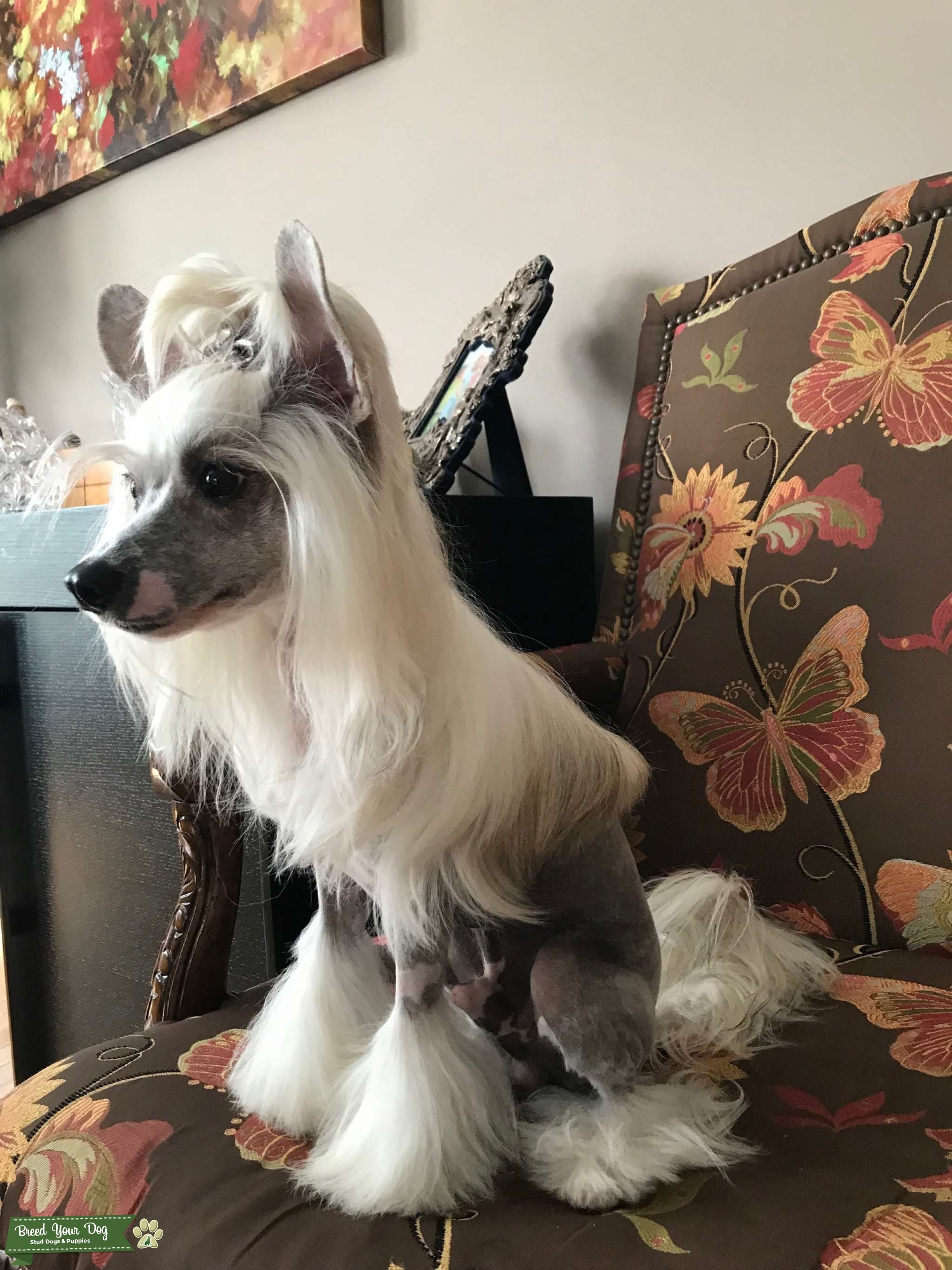 Chinese Crested Listing Image Big