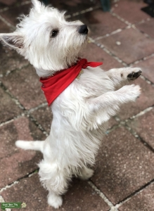 Westie Miami needing a Female  Listing Image