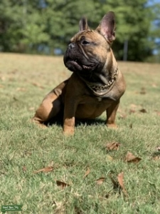 Stud French Bulldog  Listing Image