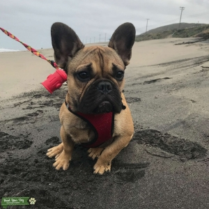 French Bulldog (Red Fawn)  Listing Image
