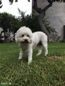 STUD WANTED FOR MINI POODLE X MALTESE Listing Image