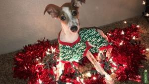Italian Greyhound Female  Listing Image