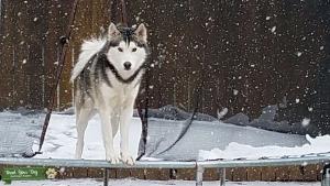 Siberian Husky Listing Image