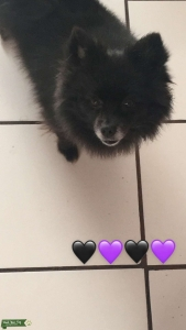 im looking for a male pomeranian Listing Image