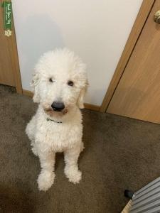 White Standard Poodle Listing Image