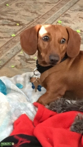 Biscuit the Dachshund  Listing Image