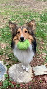 Mini Sheltie Listing Image