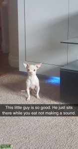 Intelligent Tea cup Chihuahua Looking for Mate Listing Image