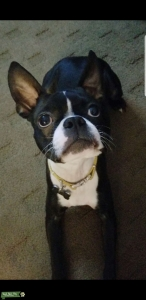Sweet Boston Terrier  Listing Image