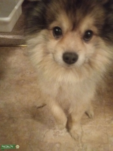 Male Pomsky looking for Mate Listing Image