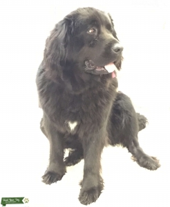 Oregon Newfoundland Purebred Bitch Seeking Male Stud Purebred Newf Listing Image