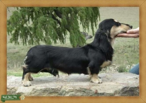 Imported Miniature Longhaired Daschund Male  Listing Image