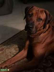 RR-STUD DOG Listing Image