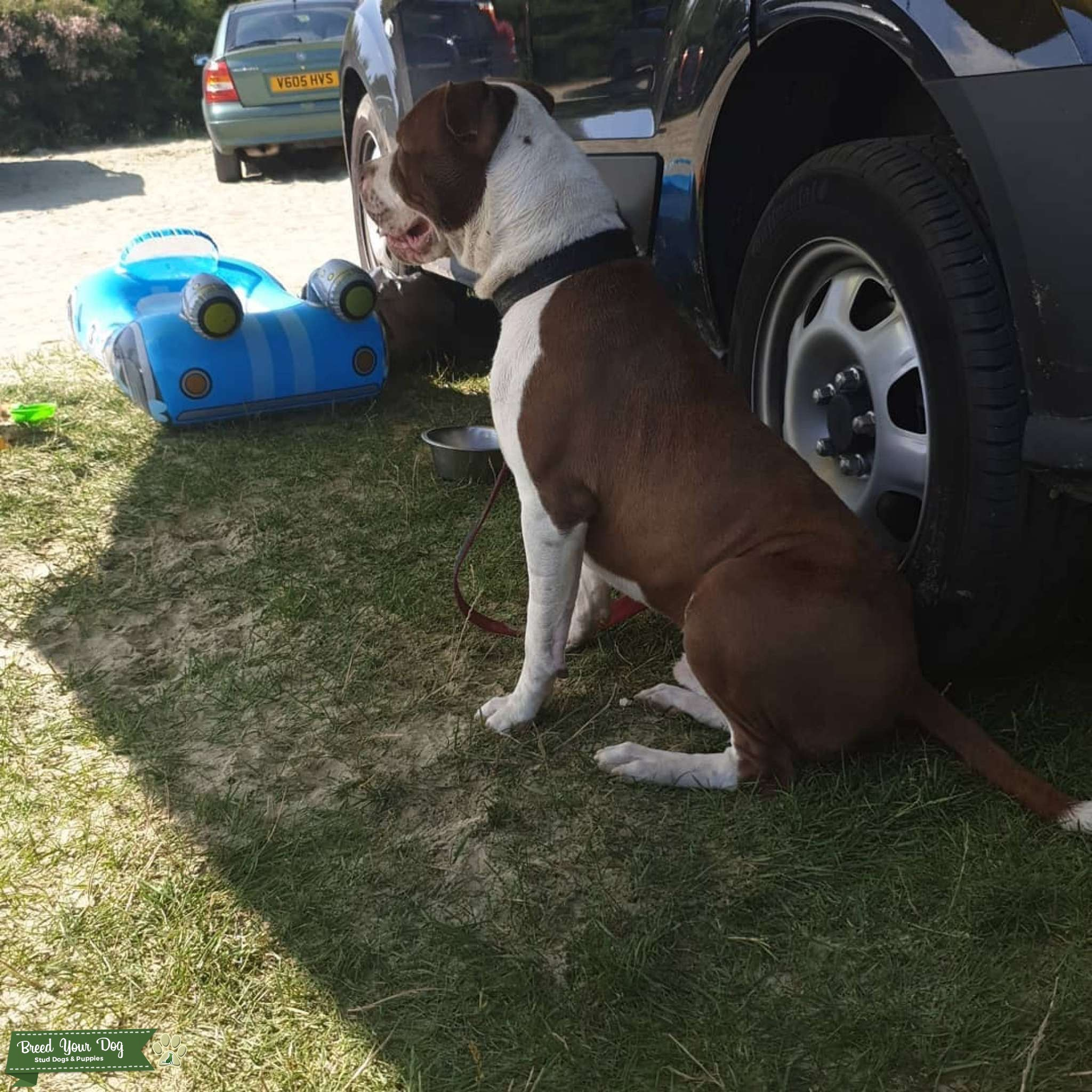 Pressa Canário x Bull Mastiff Listing Image Big