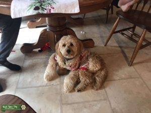 Goldendoodle Stud Dogs Available Now Breed Your Dog