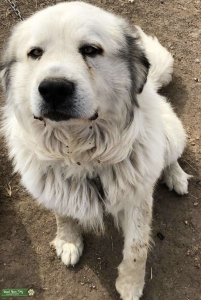 Registered Great Pyrenees  Listing Image