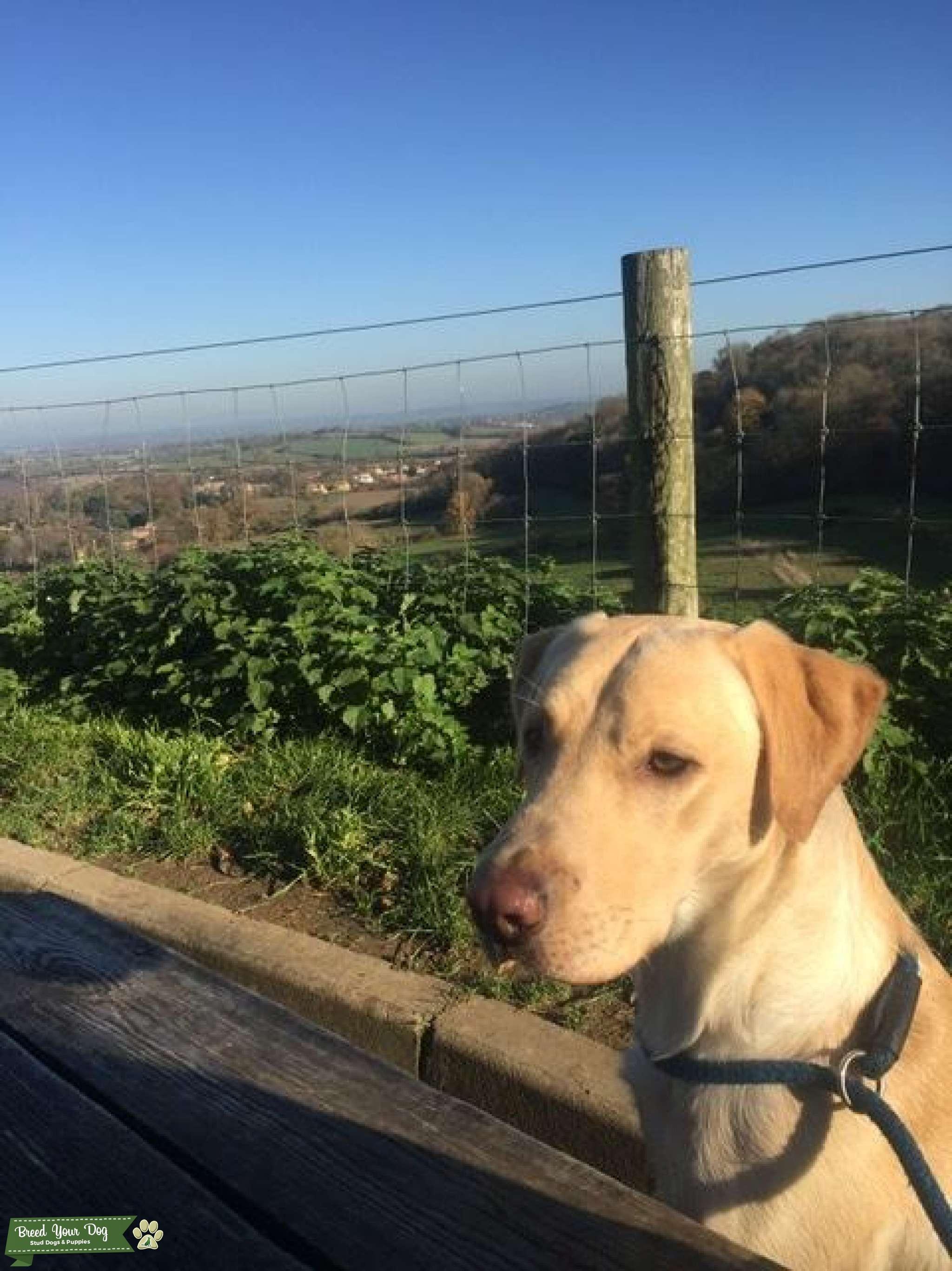 Gundog golden Labrador for stud  Listing Image Big