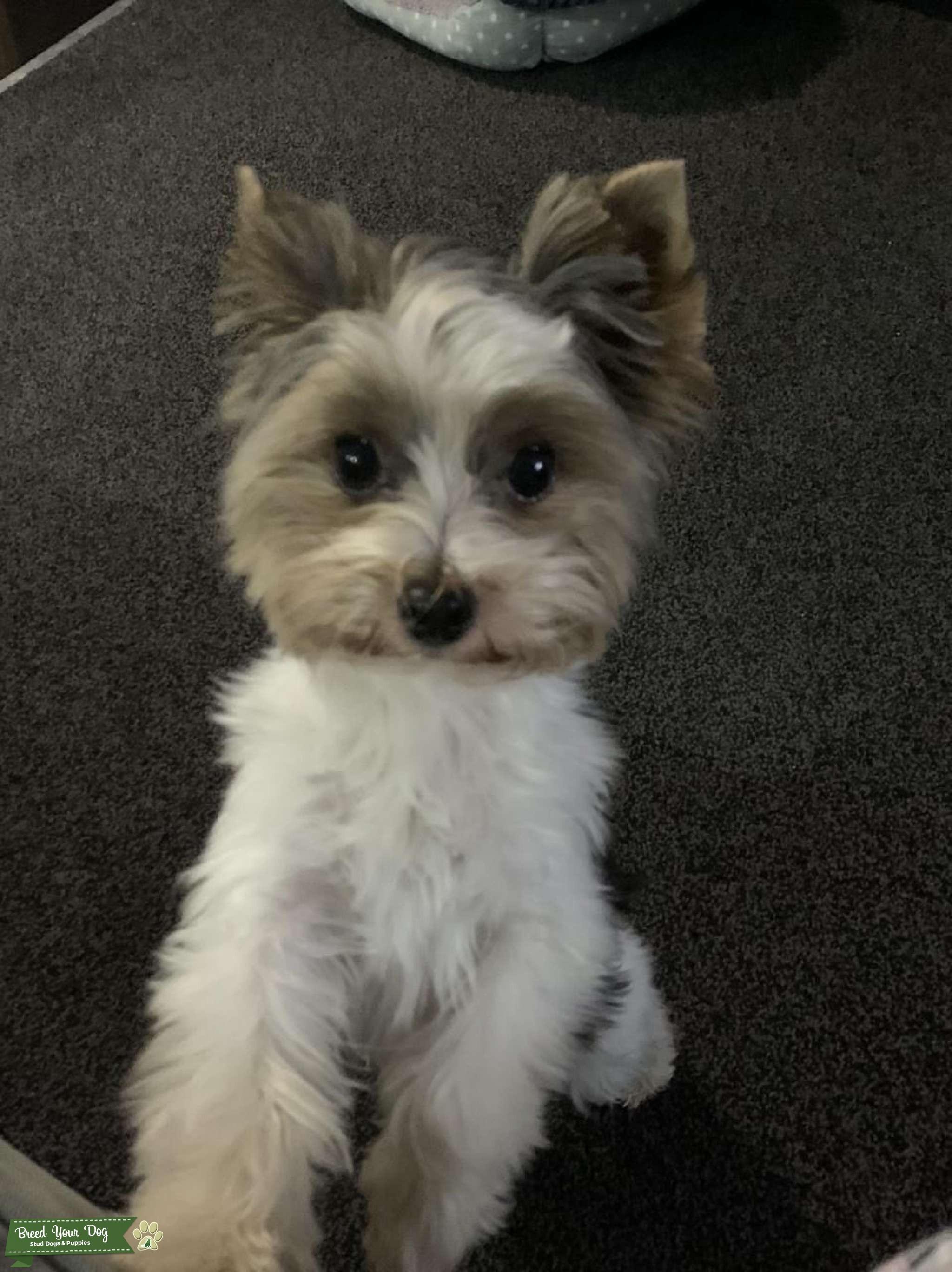 Biewer terrier dog Listing Image Big