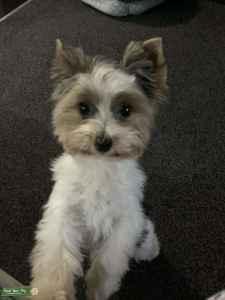 Biewer terrier dog Listing Image