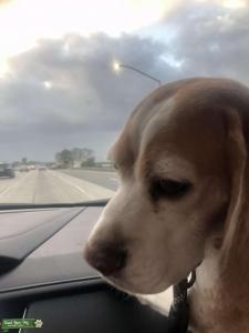 Handsome Beagle Listing Image