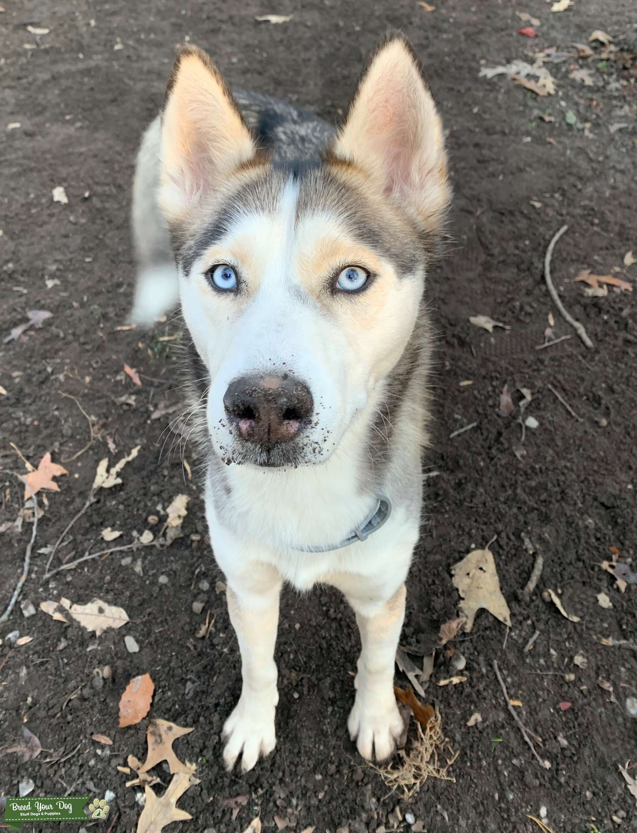 Malamute/Husky mix looking for lover  Listing Image Big