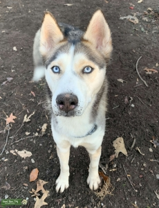 Malamute/Husky mix looking for lover  Listing Image
