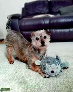 Crossbreed poodle & Yorkshire terrier  Listing Image