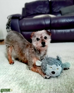 Crossbreed poodle & Yorkshire terrier  Listing Image Thumbnail