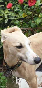 Handsome Kc whippet stud dog available Listing Image Thumbnail