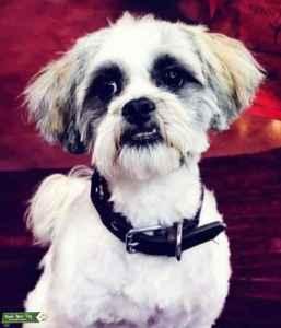 Stud cross breed Maltese Lhapso Apso  Listing Image