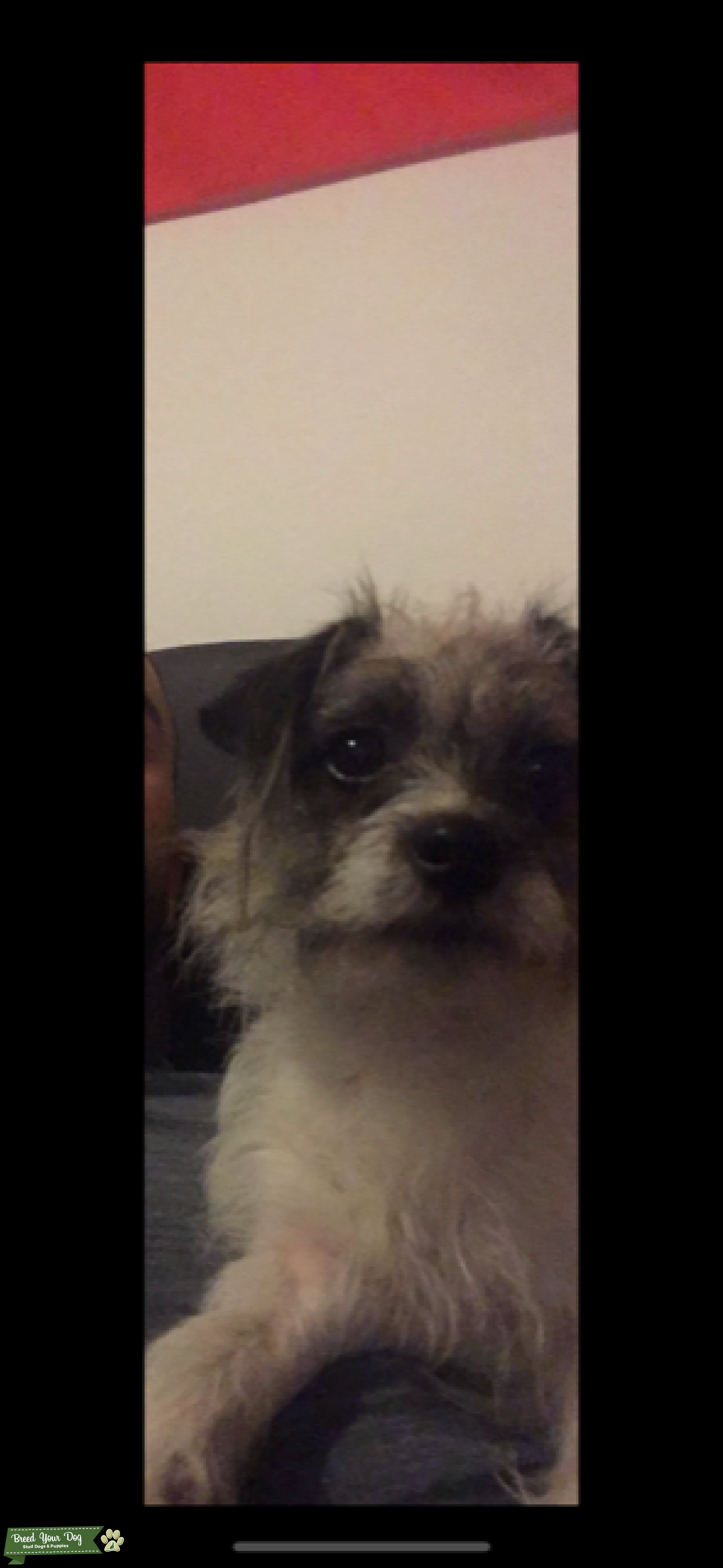 yorkshire terrier x Jack Russell Listing Image Big