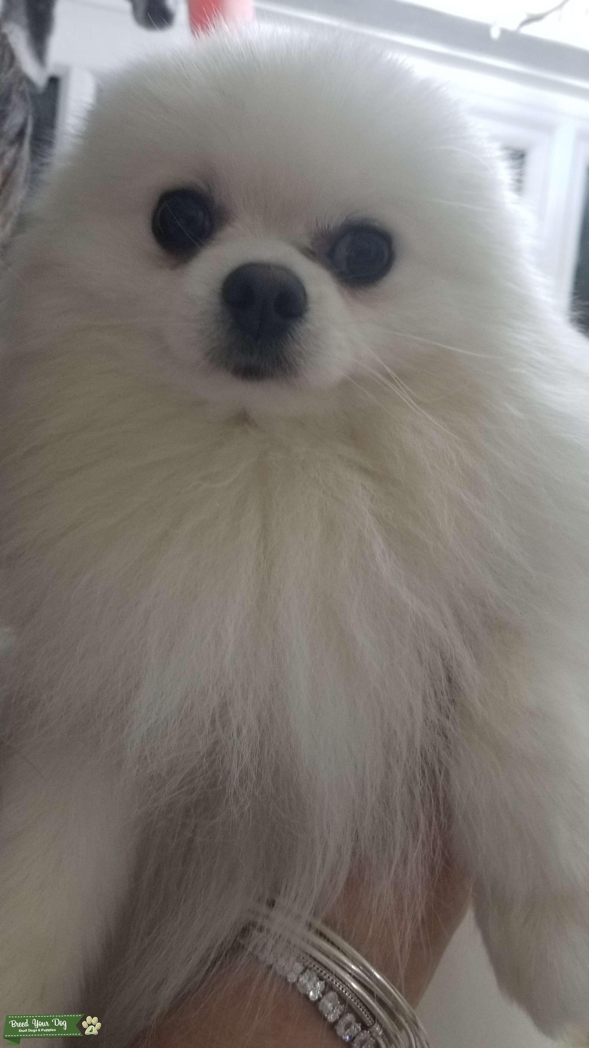 White Pomeranian Stud - Champion Bloodlines 7 generations Listing Image Big