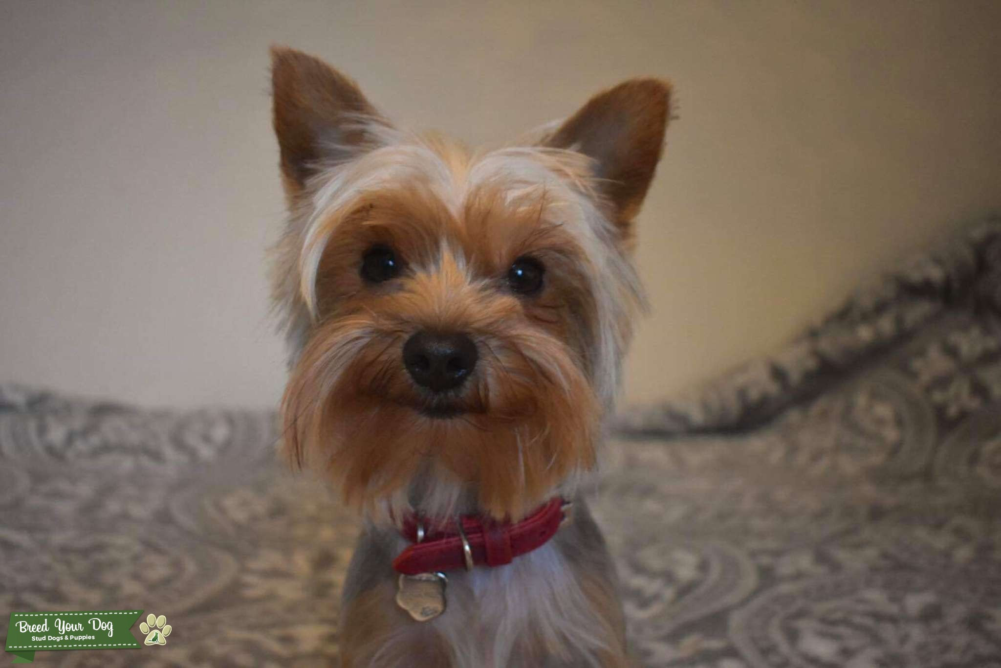 Miniature Yorkshire Terrier  Listing Image Big