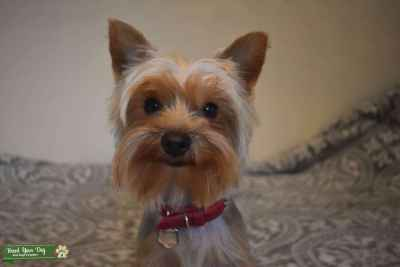 Miniature Yorkshire Terrier  Listing Image