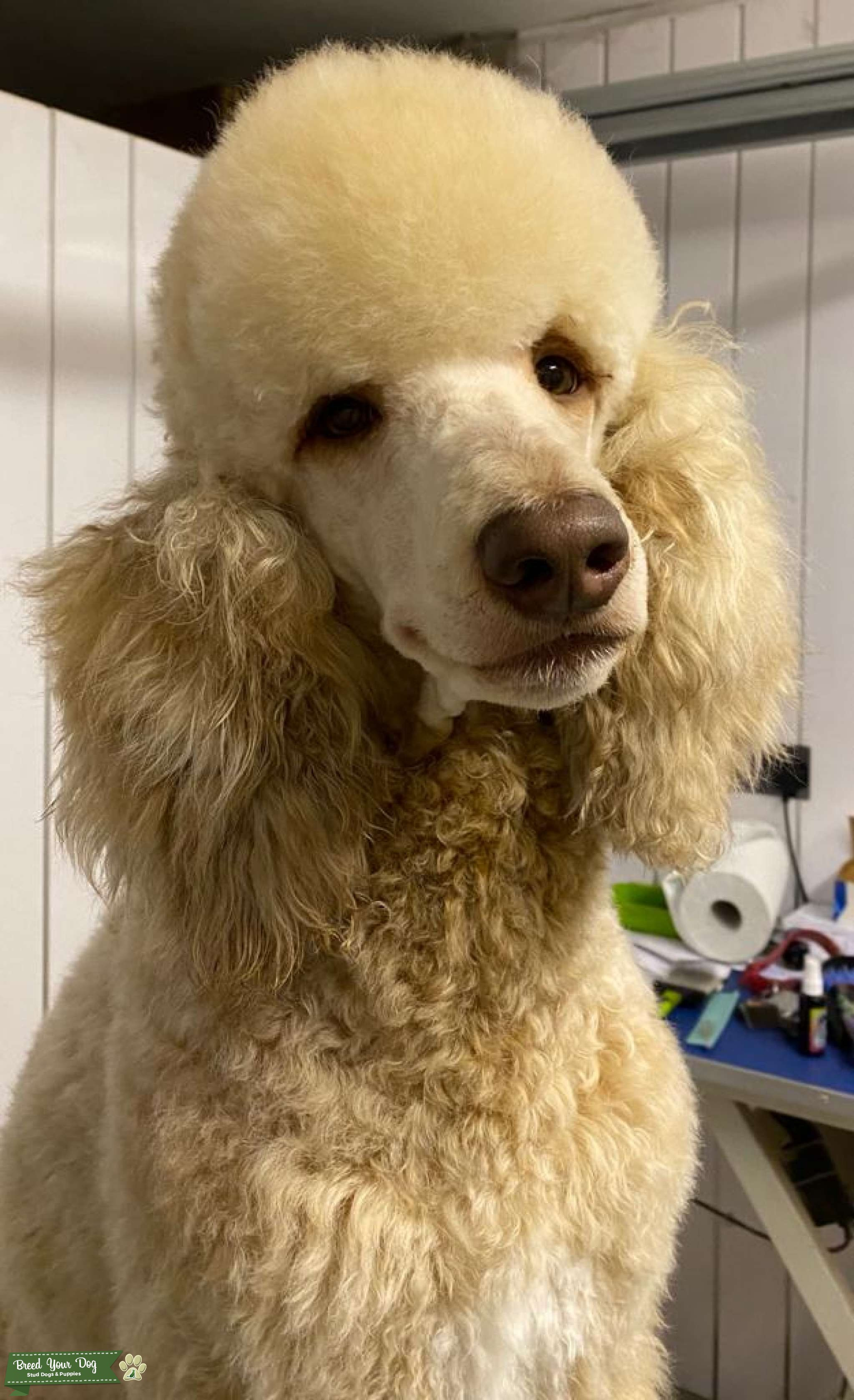 Brown Sable Standard Poodle -Multi Colour Carrier Listing Image Big